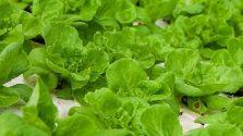 Hướng dẫn trồng và chăm sóc rau xà lách tại nhà