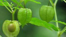 Bài thuốc từ cây tầm bóp chữa bệnh hiệu quả