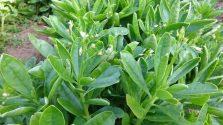 Cách trồng cây sâm đất làm rau ăn trị bệnh tại nhà