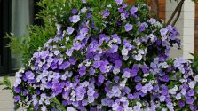 Hoa nhài nhật - nét đẹp kỳ diệu cuốn hút người chơi hoa